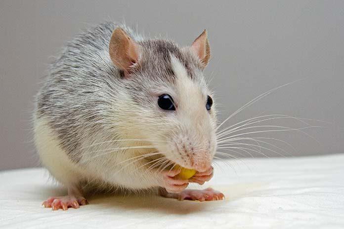 Jak wykładać trutkę na myszy